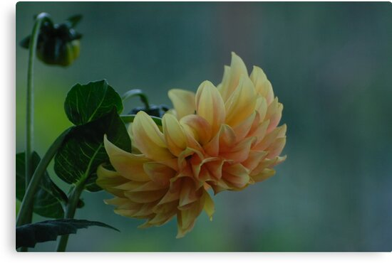 Yellow - orange dahlia with natural background by Antanas