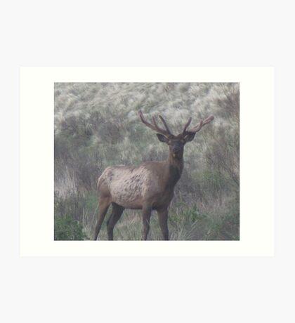 bull elk  Art Print