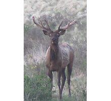 bull elk challenge Photographic Print