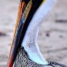 The beauty of Pelicans by Beth Hughes