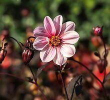 Dahlias by Susie Peek
