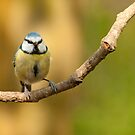 Blue tit  by Margaret S Sweeny