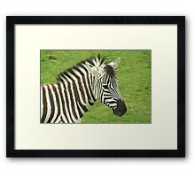 head and shoulders portrait of a zebra on a grassy background Framed Print