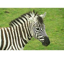 head and shoulders portrait of a zebra on a grassy background Photographic Print