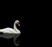 Swan on Black Background  by shane22