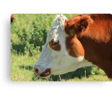Brown and White Cow on the Prairies Canvas Print