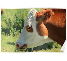 Brown and White Cow on the Prairies Poster