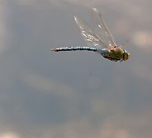 Emperor Dragonfly in flight by Jon Lees