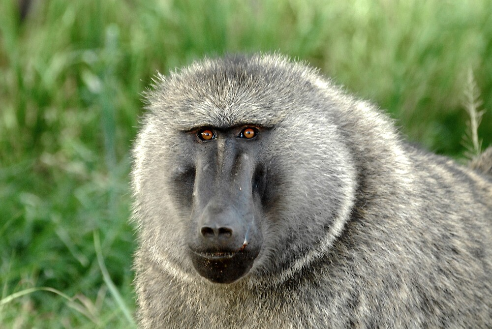 Uganda - Olive Baboon by Marieseyes