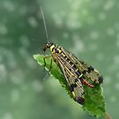 Scorpion fly by Lifeware