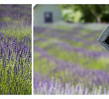 Another Lavender Field by Rebecca Cozart
