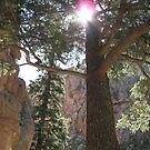 ancient spruce by Christine Ford