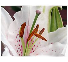 Exotic and Exquisite - White Oriental Lily  Poster