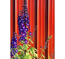A Clash of Beauty (Lupines) Photographic Print
