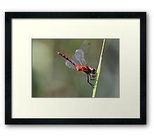 Ruby Meadowhawk Framed Print