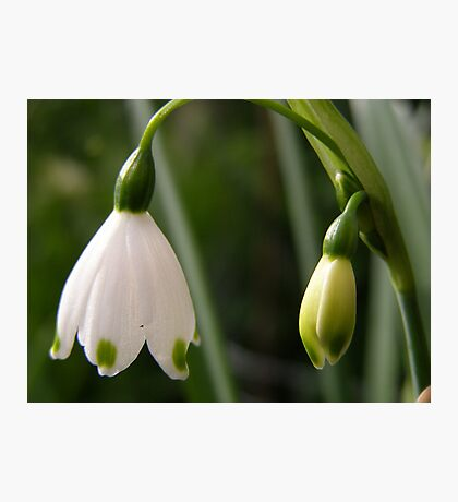 'A LAMP SHADE!' by Nature, Snowdrop time. Photographic Print