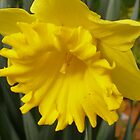 'A TINY TRUMPET WITHIN!' King Alfred Daffodil. by Rita Blom