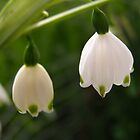 &#x27;NATURES ILLUMINATION!&#x27;  Snowdrops in the garden. by Rita Blom
