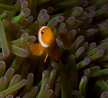 False Clownfish by Todd Krebs