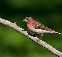 Male Purple Finch by Wayne Wood