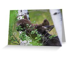 Young bull moose is back for dinner Greeting Card