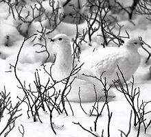 Ptarmigans in the Arctic Willow, Churchill, Canada  by Carole-Anne