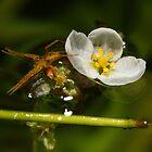 Brazilian elodea and a fishing spider by Bluecornstudios