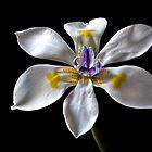 Morea Iris 3 by Endre