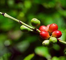 COFFEE BEAN BUSH QUEENSLAND AUSTRALIA by harper white