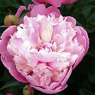 Pretty Pink Peony by Leslie van de Ligt