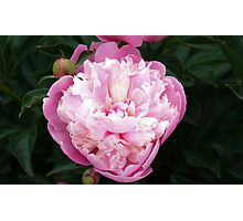 Pretty Pink Peony Photographic Print