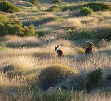 Shark Bay Roos Western Australia  by Virginia McGowan