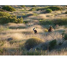 Shark Bay Roos Western Australia  Photographic Print
