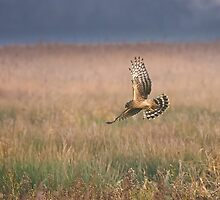 Hen Harrier by rhallam