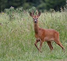 Roe Deer 2 by rhallam