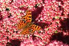Comma Butterfly on Sedum by Artberry