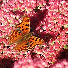 Comma Butterfly on Sedum by Artberry