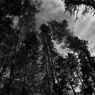Tall Trees. by Mbland