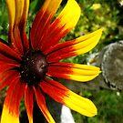 Rubeckia Sunshine by L J Fraser