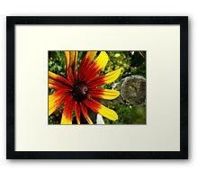 Rubeckia Sunshine Framed Print