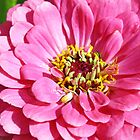 pretty pink zinnia  flower by liza scott