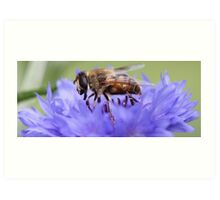 Honeybee - Knee Deep in Blue Amaranthus Art Print