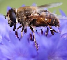 Honeybee - Knee Deep in Blue Amaranthus by T.J. Martin