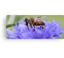 Honeybee - Knee Deep in Blue Amaranthus Canvas Print