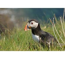 Puffin on a clifftop in Scotland Photographic Print