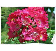 floribunda rose flower Poster