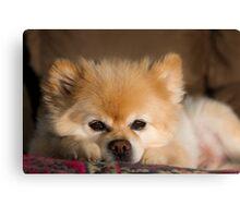 Cute White Pomeranian Dog Canvas Print