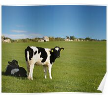 Young calves in field Poster