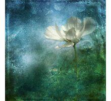 Experimental Garden Cosmos II Photographic Print