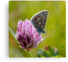 Common Blue Butterfly  (male) Canvas Print